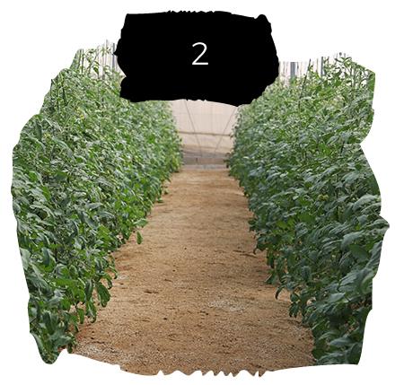 Tomatelover ¿Como es nuestro cultivo de tomates RAF en Almería? 2