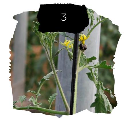 Tomatelover ¿Como es nuestro cultivo de tomates RAF en Almería? 3