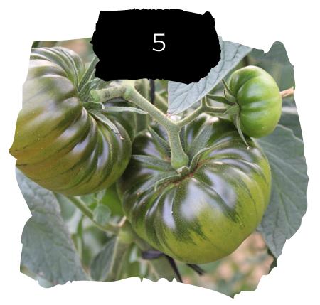 Tomatelover ¿Como es nuestro cultivo de tomates RAF en Almería? 5
