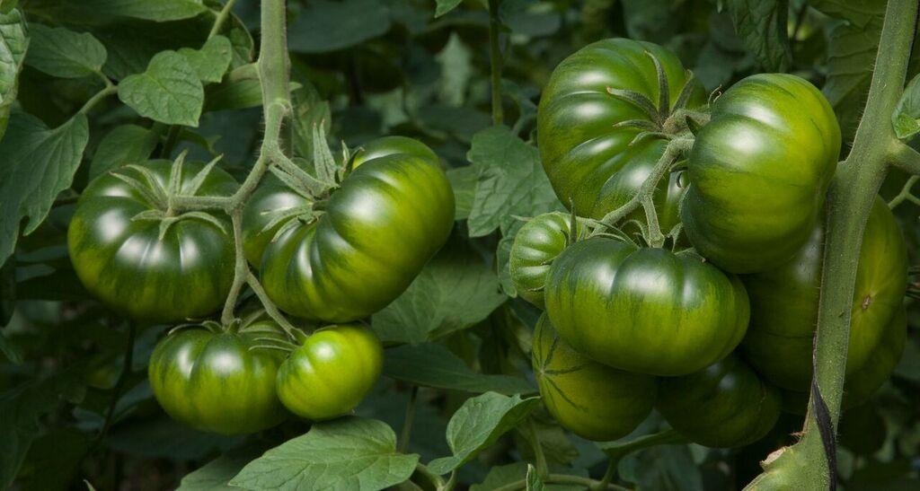 Cómo obtenemos el tomate raf auténtico