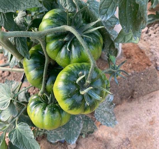 Tomatelover propiedades del tomate raf y beneficios para tu salud 1